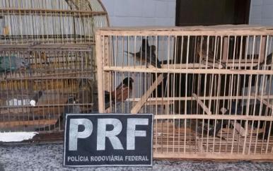 PRF apreende pássaros silvestres em ônibus na cidade de Peritoró