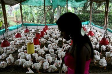 OMS pede que indústria alimentar pare de dar antibióticos a animais saudáveis